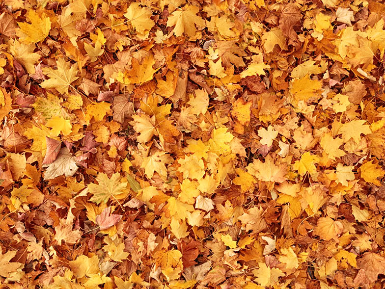 Brown and yellow autumn leaves covering the ground