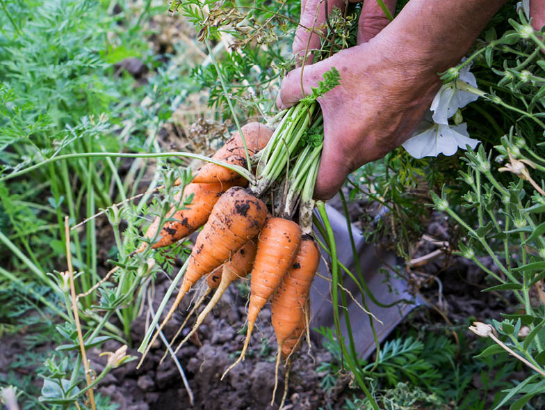 Person pulling carrots out of garden bed