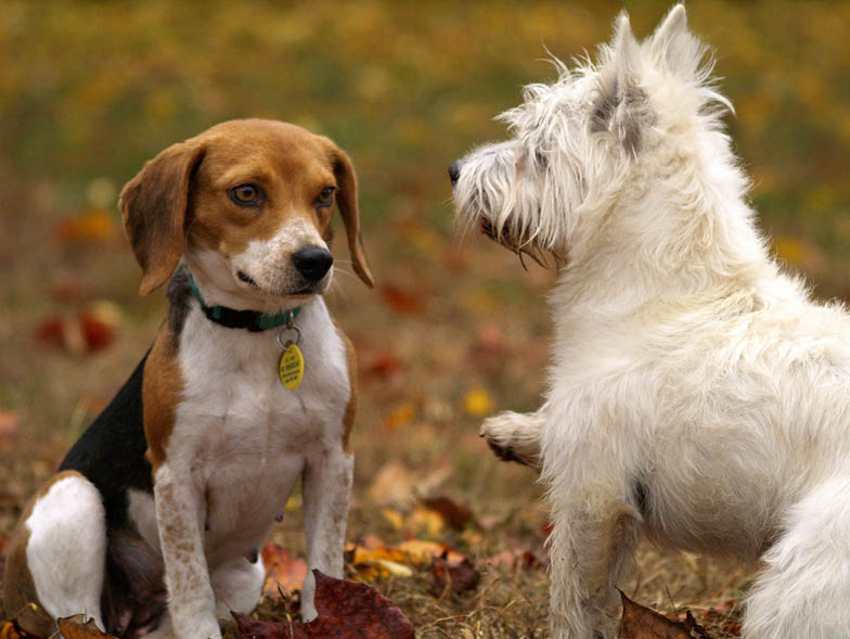Beagle and West Highland Terrier together outside